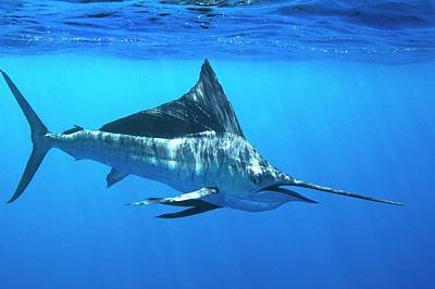 Indo-pacific Sailfish Print by Christopher Swann