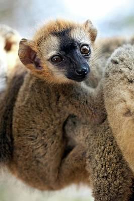 Lemur Photograph - Infant Red-fronted Brown Lemur by Alex Hyde