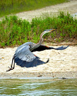Inflight Great Blue Heron Print by Sandi OReilly