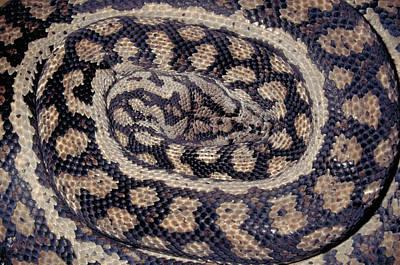 Python Photograph - Inland Carpet Python  by Karl H Switak
