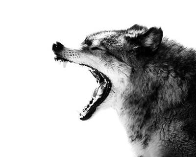 Black. Timber Wolf Photograph - Intense Gray Wolf Portrait  by Stephanie McDowell