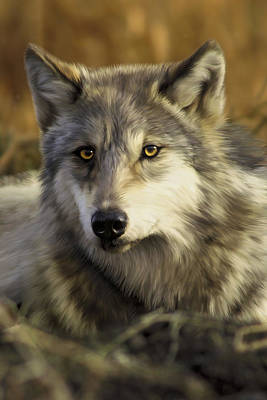 Wolf Digital Art - Intense Wolf Stare by Julie L Hoddinott