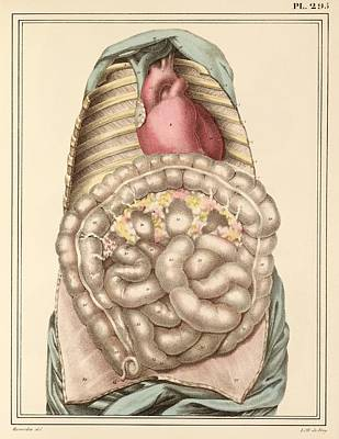 Internal Body Organs, 1825 Artwork Print by Science Photo Library