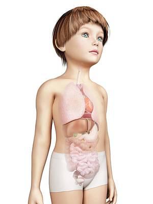 Internal Organs Photograph - Internal Organs Of Boy by Sebastian Kaulitzki