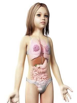 Internal Organs Photograph - Internal Organs Of Girl by Sebastian Kaulitzki