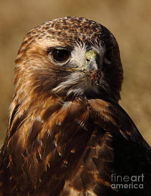 Red Tailed Hawk Portrait Print by Robert Frederick