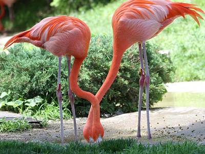 Pink Flamingo Nature Photograph - Intertwined Flamingoes by Dan Sproul