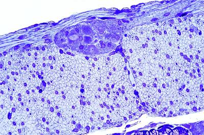 Intestinal Nerves Print by Microscape