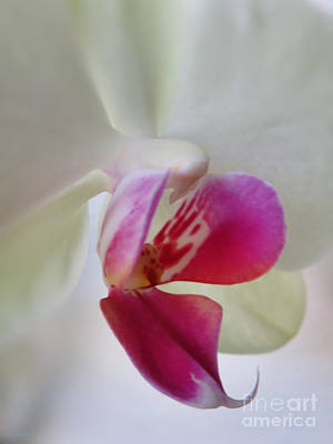 Intimacy - White Orchid Original by Ella Kaye Dickey