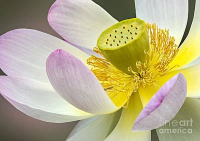 Plants Photograph - Intimate Sacred Lotus Bloom by Susan Candelario