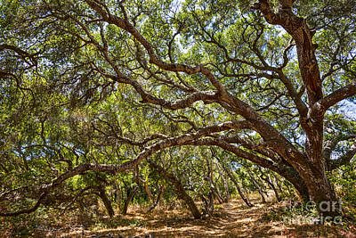 Luis Photograph - Into The Forest - The Magical And Mysterious Trees Of The Los Osos Oak Reserve. by Jamie Pham