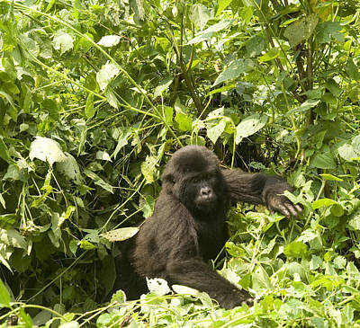 Gorilla Photograph - Into The Light by Liz Leyden