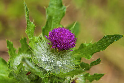 Invasive Purple Thistle On The Olympic Print by Michael Qualls