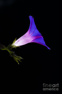 Ipomoea Morning Glory Print by Tim Gainey