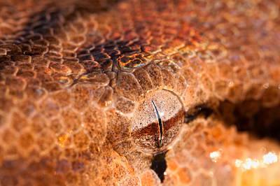 Boa Constrictor Photograph - Iridescent Stare by Jeff Sinon