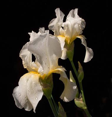 Blume Photograph - Iris Cream by Don Spenner