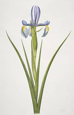 Iris Flower, 20th Century Print by Science Photo Library