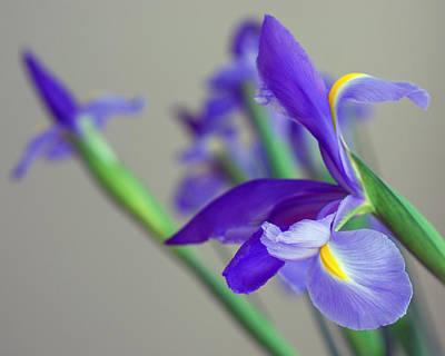 Greens Photograph - Iris by Lisa Phillips
