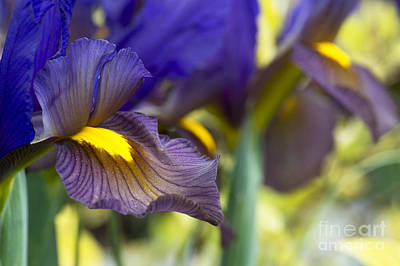Iris Hollandica Eye Of The Tiger Print by Tim Gainey