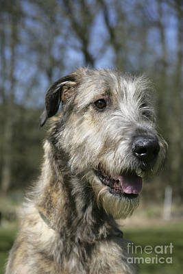 Irish Wolfhound Photograph - Irish Wolfhound by John Daniels