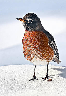 Robin Photograph - Is It Spring Yet? by Marcia Colelli