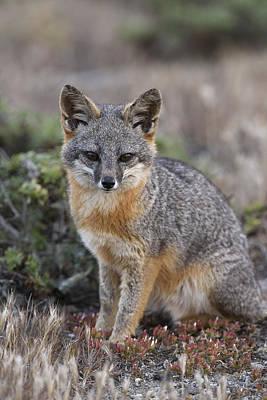 Photograph - Island Fox California by Ch'ien Lee