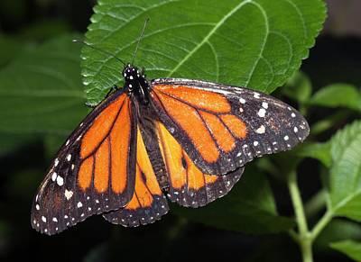 Ismenius Tiger Butterffly Print by Dirk Wiersma