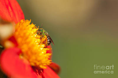 It Is All About The Buzz Print by Beve Brown-Clark Photography