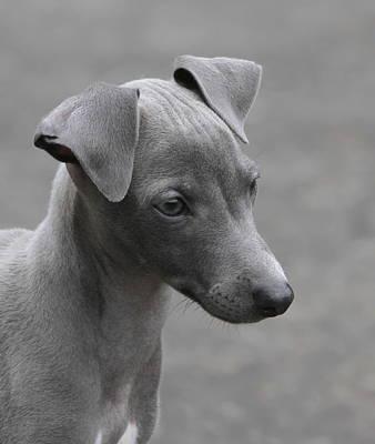 Italian Greyhound Puppy Print by Angie Vogel