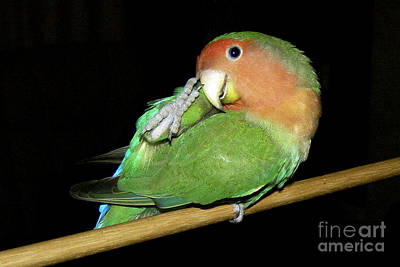 Peach-faced Lovebird Photograph - Itchy Pickle by Terri Waters