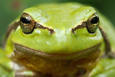 Amphibians Photograph - It's Not Easy Being Green _ Tree Frog Portrait by Roeselien Raimond