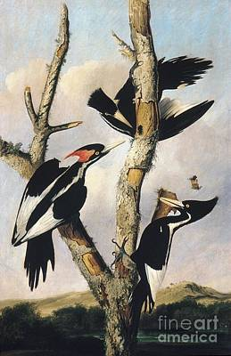 Woodpecker Drawing - Ivory-billed Woodpeckers by Celestial Images