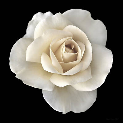 Ivory Rose Flower Portrait Print by Jennie Marie Schell
