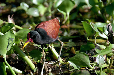 Lilly Pads Photograph - Jacanas Are Called 'jesus Birds' by Jan and Stoney Edwards