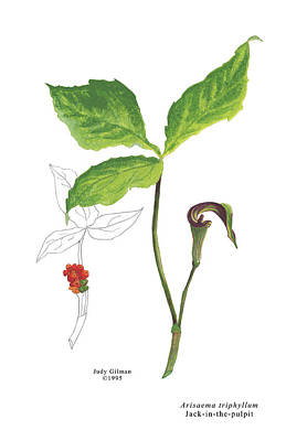 English Gouache Painting - Jack-in-the-pulpit by Judy Gilman