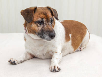 Jack Russell Photograph - Jack Russell Portrait by Colin and Linda McKie