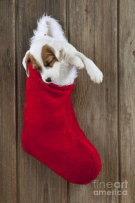 Puppy Christmas Photograph - Jack Russell Puppy Sleeping by John Daniels