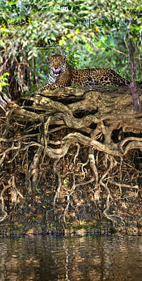 Wetlands Photograph - Jaguar Panthera Onca Resting by Panoramic Images