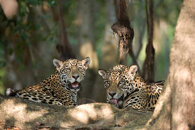 Of Felines Photograph - Jaguars Panthera Onca Resting by Panoramic Images