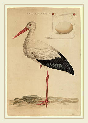 Stork Drawing - Jan Christiaan Sepp Dutch, 1739-1811, The White Stork by Litz Collection