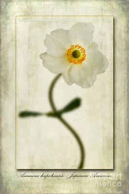 Macro Digital Art - Japanese Anemone by John Edwards