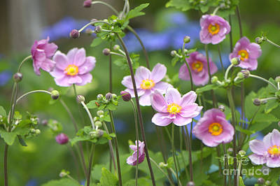 Thimbleweed Photograph - Japanese Anemones by Sharon Talson