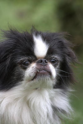 Japanese Chin - 3 Print by Rudy Umans