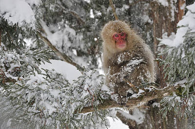 Photograph - Japanese Macaque Mother And Baby by Thomas Marent
