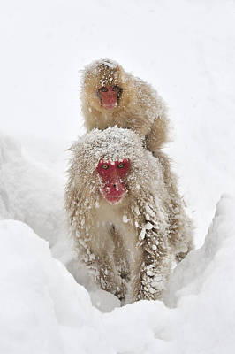 Photograph - Japanese Macaque Mother Carrying Baby by Thomas Marent