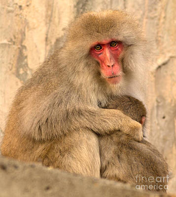 Monkey Photograph - Japanese Macaque With Baby by Natural Focal Point Photography