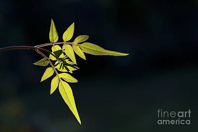 Jasmine Leaves  Print by Tim Gainey