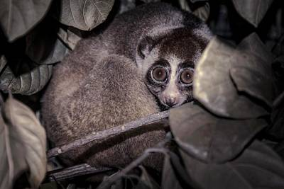 Javan Slow Loris Print by Paul Williams