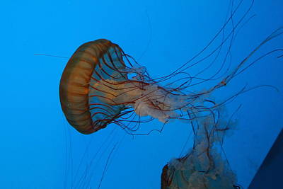Jellyfish Photograph - Jellyfish - National Aquarium In Baltimore Md - 121226 by DC Photographer