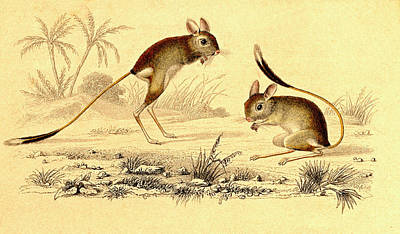 Mice Photograph - Jerboas by Collection Abecasis